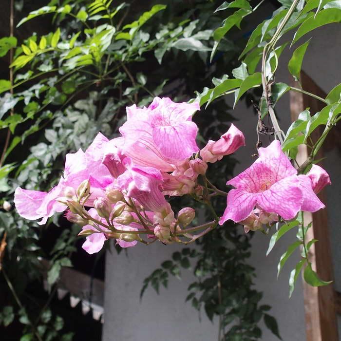 Род растений семейства бигнониевых очень красив