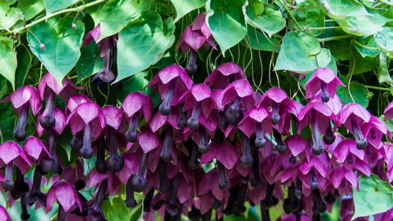 Родохитон выращивание рассадным способом дома Фото цветов
