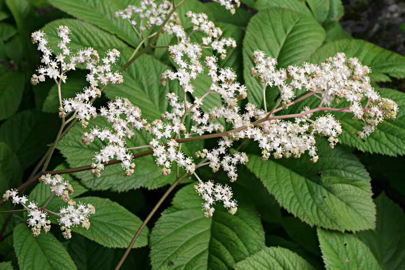 Роджерсия конскокаштанолистная Rodgersia aesculifolia фото