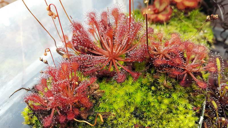 Росянка волосовидная Drosera capillaris фото