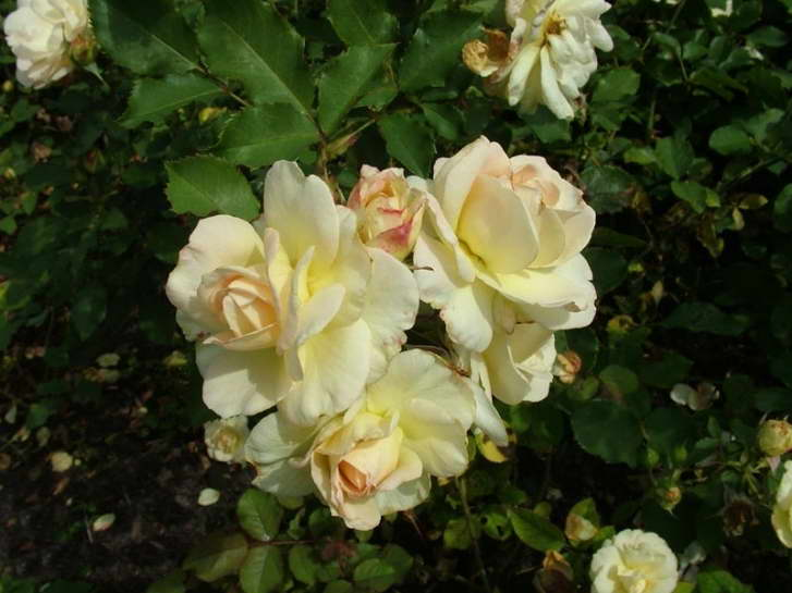 Роза Флорибунда Сорт Галакси Galaxy rose Floribunda фото
