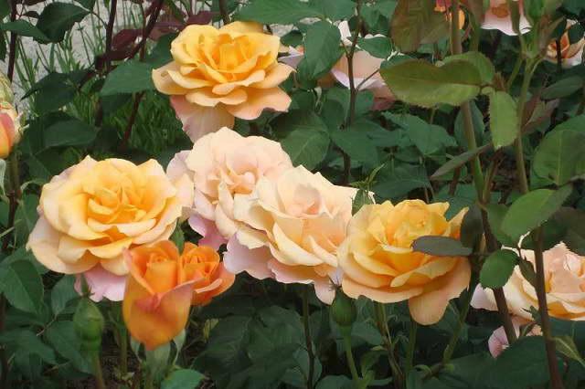 Роза Реми Мартин парковая канадская Remy martin rose фото