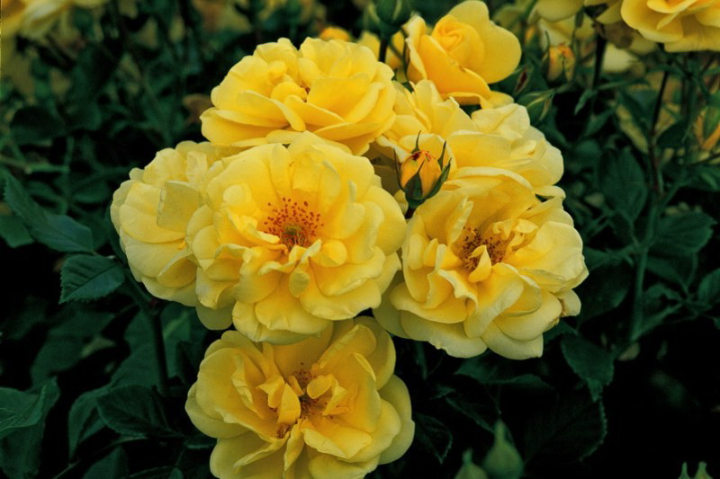Роза флорибунда Голд мемориз Golden Memories Floribunda Roses