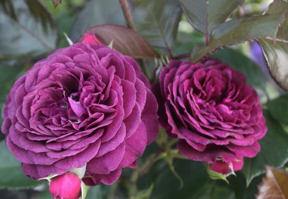 Роза флорибунда Сорт Блю Вондер Blue Wonder rose Floribunda