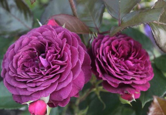 Роза флорибунда Сорт Блю Вондер Blue Wonder rose Floribunda