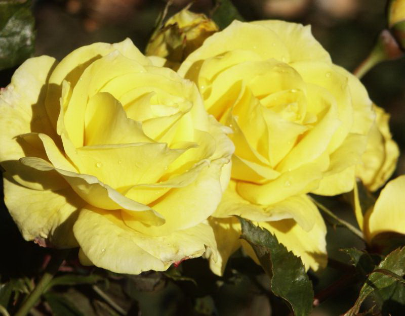 Роза флорибунда сорт Фризия Friesia rose Floribunda