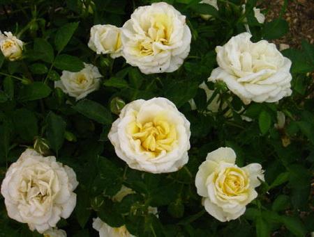 Роза парковая Джей Пи Коннел J.P.Connell Rose