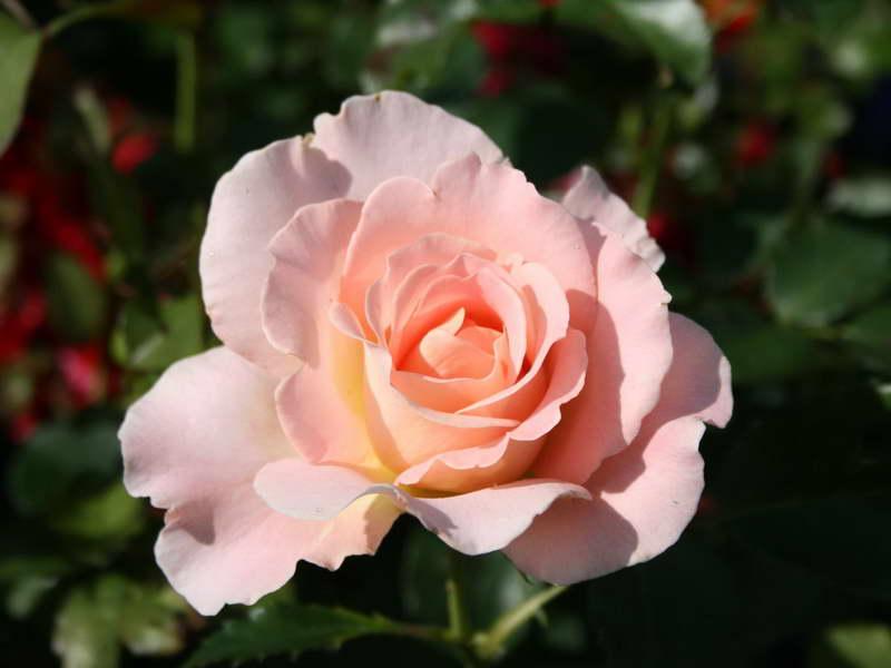 Роза парковая мархенланд Rosa park Marchenland фото