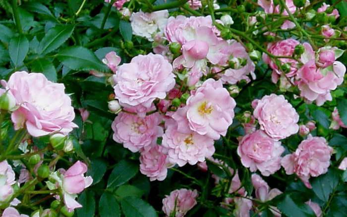 Роза полиантовая Фейри Polyantha Rose Fairy фото