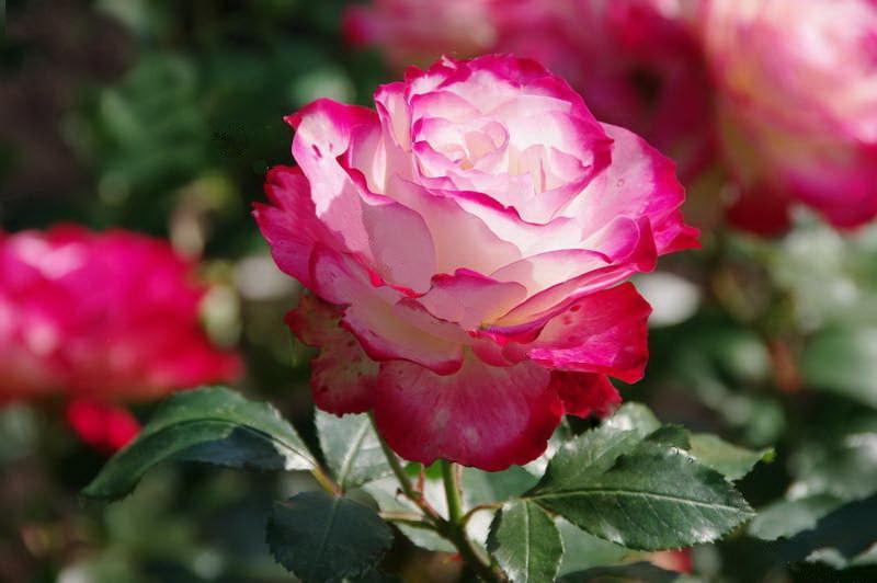 Роза полиантовая Роял минуэто Polyantha Rose Royal Minueto