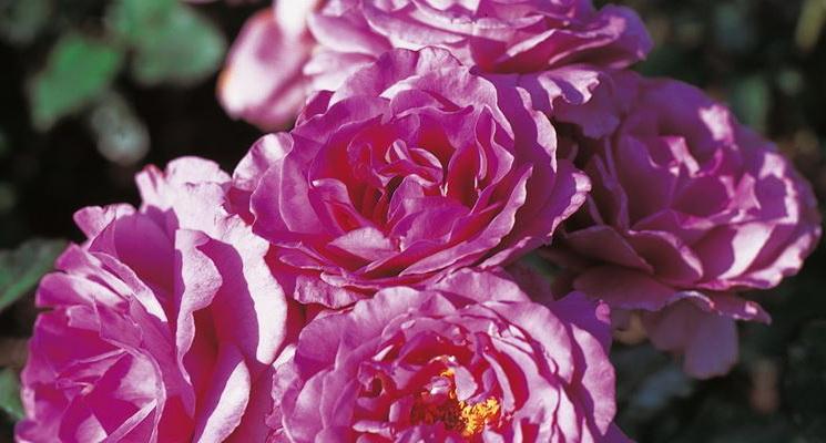 Роза полиантовая Шокинг блю Polyantha Rose Shocking Blue