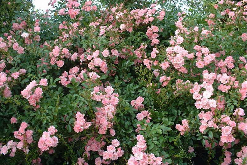 Розы полиантовые в саду фото