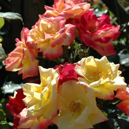 Роза полиантовая маскарад Polyantha Rose Masquerade