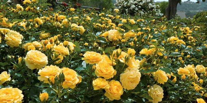 Роза полиантовая олд голд Polyantha Rose Old Gold фото