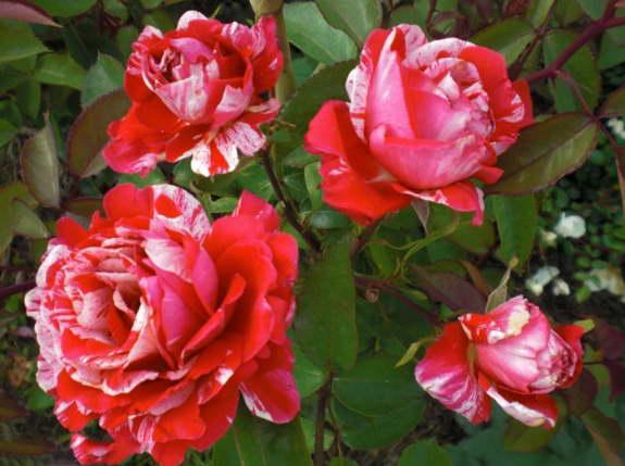 Роза полиантовая папагено Polyantha Rose Papageno фото
