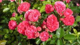 Роза полиантовая посадка и уход в открытом грунте На фото сорт Polyantha Rose Orange Triumph