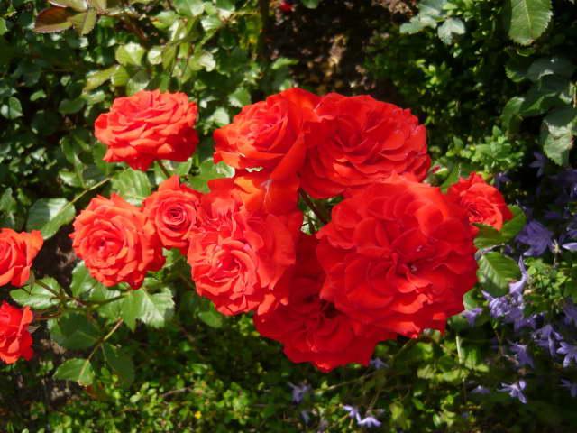 Роза полиантовая ред диадем Polyantha Rose Red Diadem фото