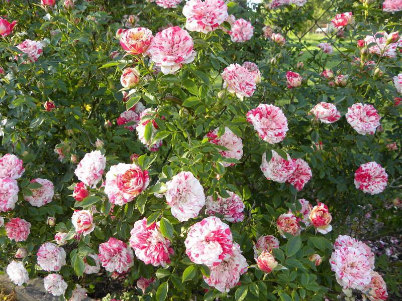 Роза полиантовая твистер Polyantha Rose twister фото