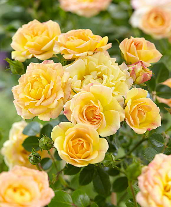 Роза полиантовая желтая Еллоу фейри Rosa polyantha 'Yellow Fairy' фото