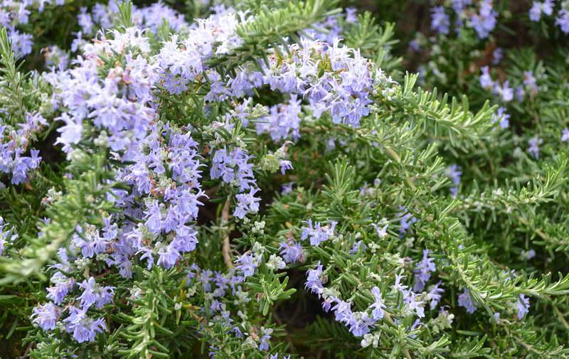 Розмарин обыкновенный Rosmarinus officinalis или розмарин лекарственный фото