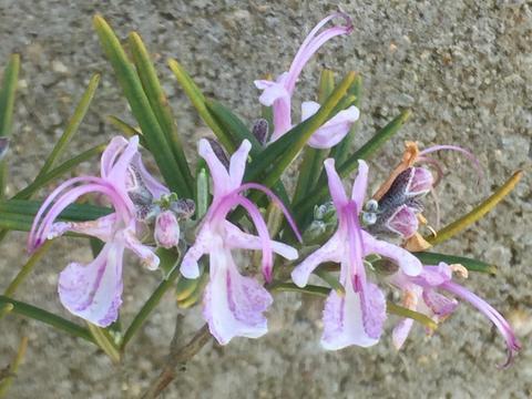 Розмарин розовый Rosmarinus officinalis 'Roseus'