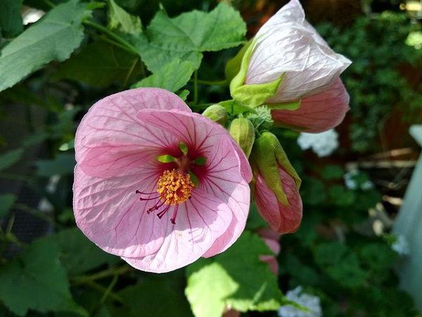 цветок абутилон комнатный клен