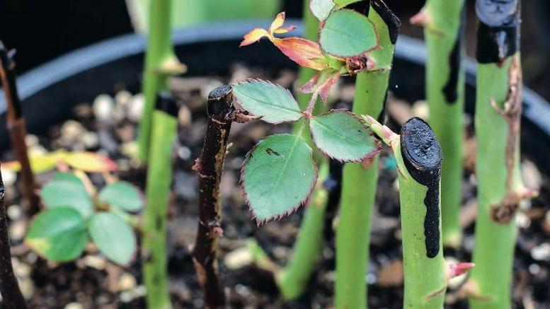 Розы размножение черенками осенью в домашних условиях