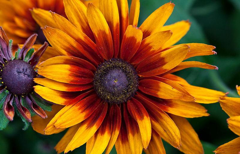 Рудбекия двухцветная rudbeckia bicolor фото цветов рассада когда сажать