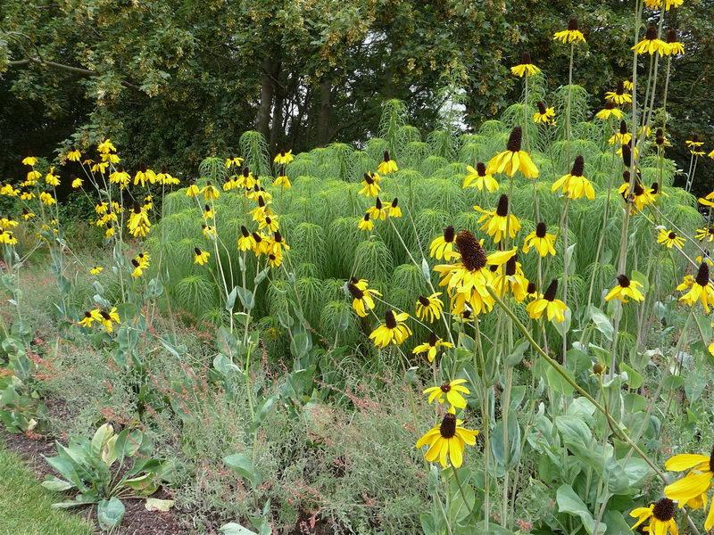 Рудбекия гигантская Rudbeckia maxima посадка и уход фото в саду