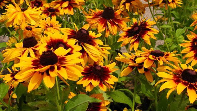 Рудбекия многолетняя посадка и уход фото цветов