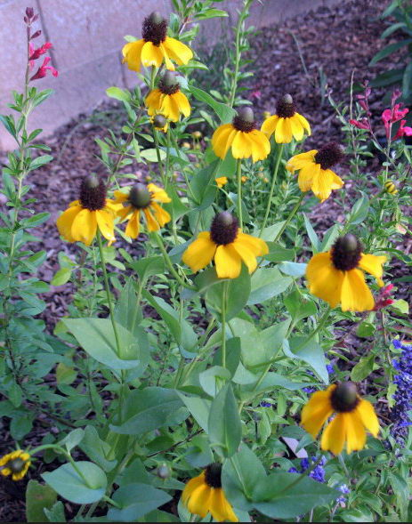 Рудбекия обхватывающая Rudbeckia amplexicaulis посадка и уход фото цветов в саду
