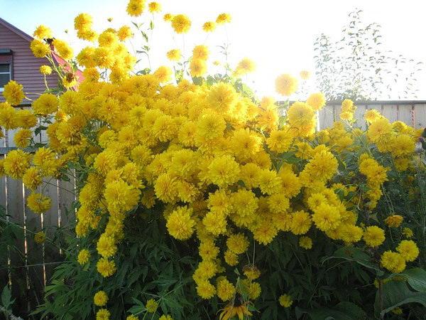 Рудбекия рассеченная Золотой шар Rudbeckia laciniata var. Hortensia фото