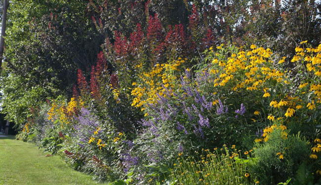 Рудбекия в миксбордере сочетание с другими цветами фото