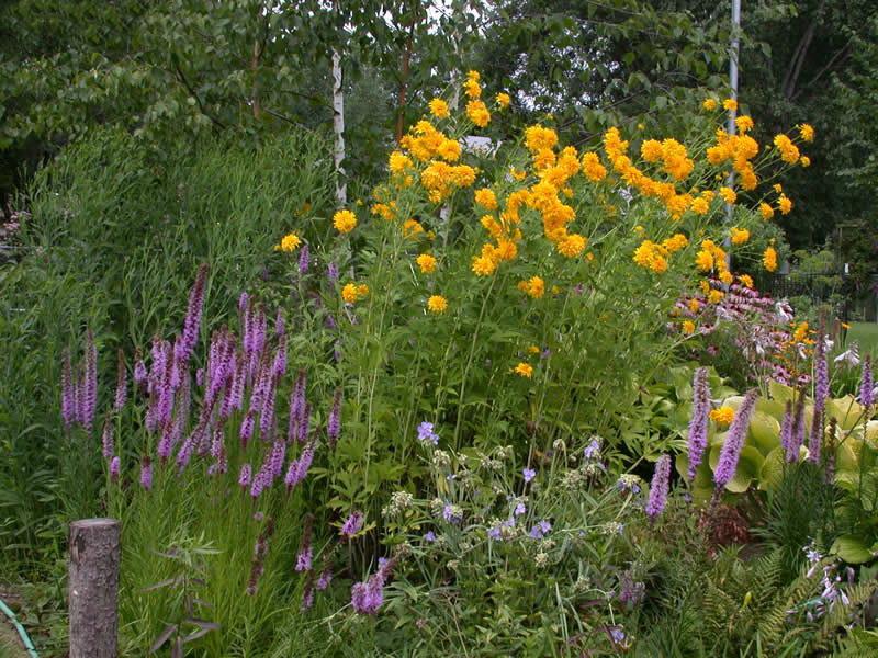 Рудбекия в саду фото с другими цветами компаньонами