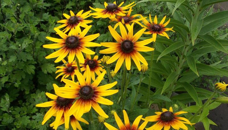 Рудбекия волосистая посадка семенами Фото цветов на клумбе