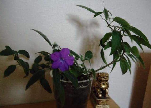 Руэллия каролинская Ruellia caroliniensis