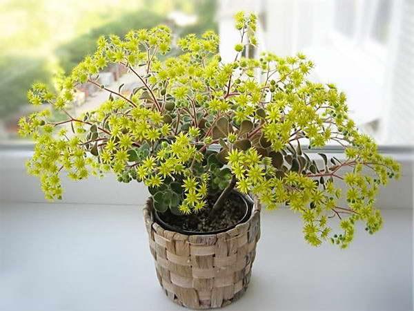 Рыхлый или распростертый аихризон Aichryson laxum фото