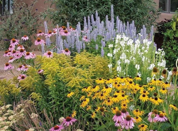 С чем посадить эхинацею фото клумбы с цветами