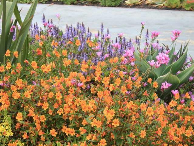 С чем посадить губастик мимулюс фото цветов