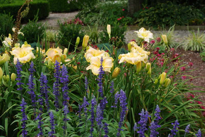 С чем посадить лилейники фото с другими цветами