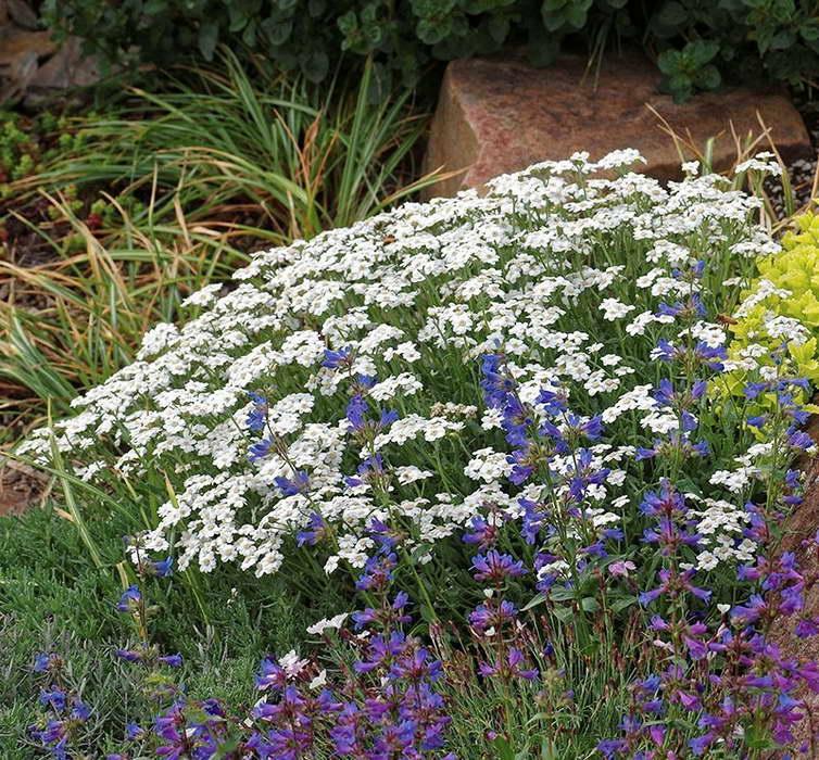 С чем посадить тысячелистник белый фото цветов в саду