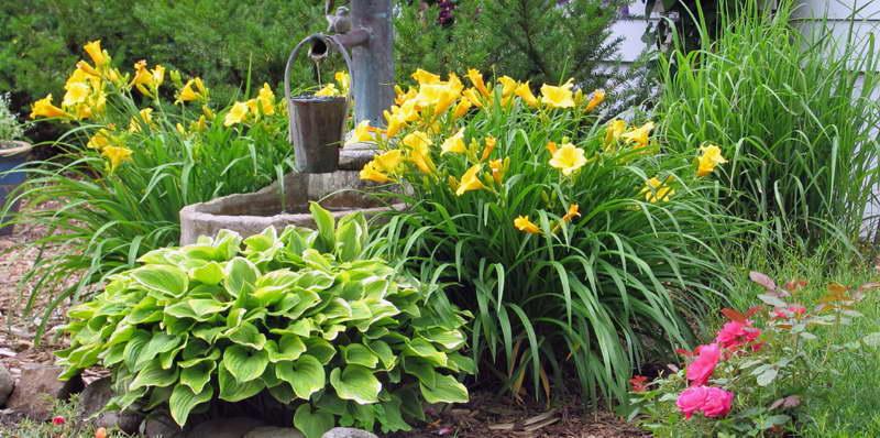 С какими цветами посадить лилейники фото