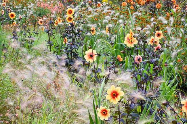 С какими цветами посадить ячмень гривастый фото