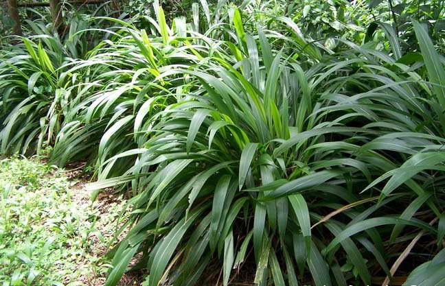 Щетинник пальмолистный setaria palmifolia фото