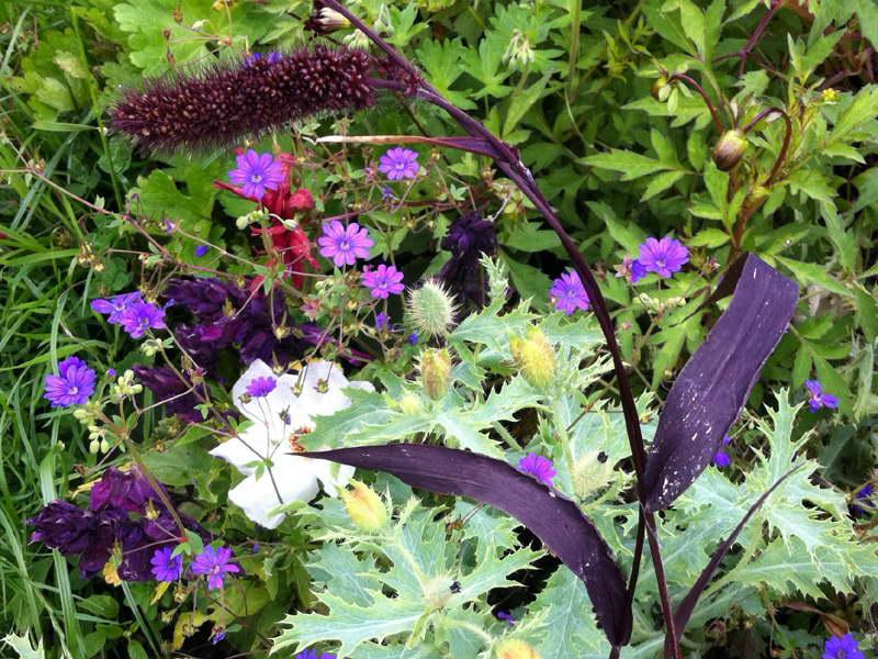 Щетинник сетария на клумбе фото с другими растениями