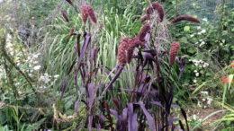 Щетинник сизый величественный фиолетовый фото в ландшафтном дизайне