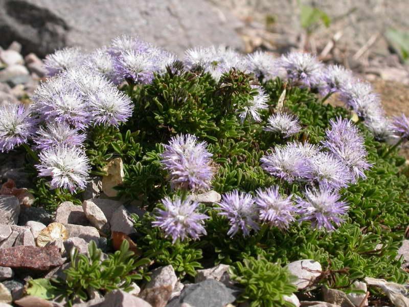 Шаровница ползучая Globularia repens 'nana' посадка и уход фото