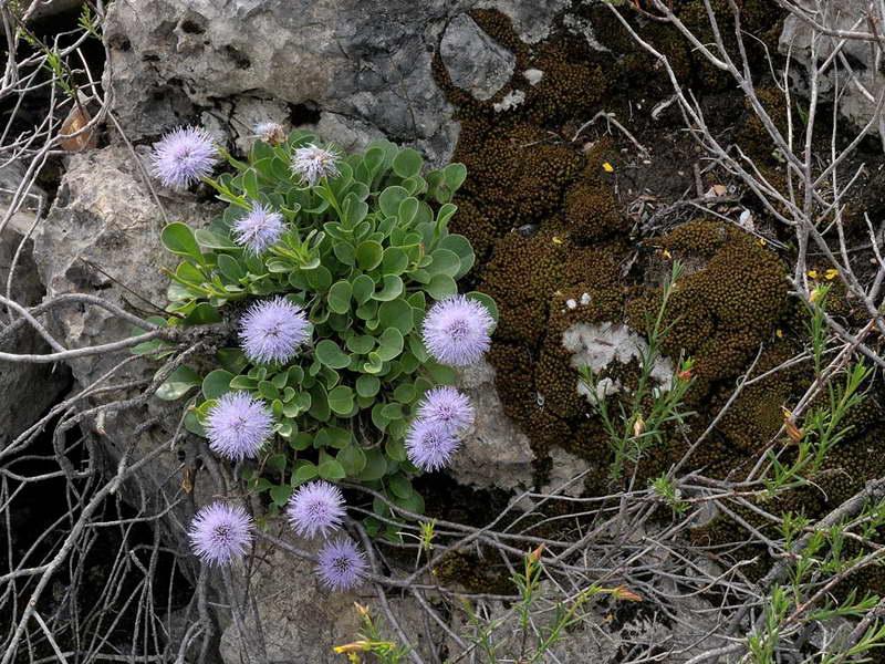 Шаровница сероватая Globularia incanescens фото Посадка выращивание и уход
