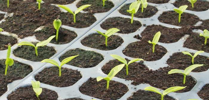 Шпинат выращивание из семян в домашних условиях фото всходов
