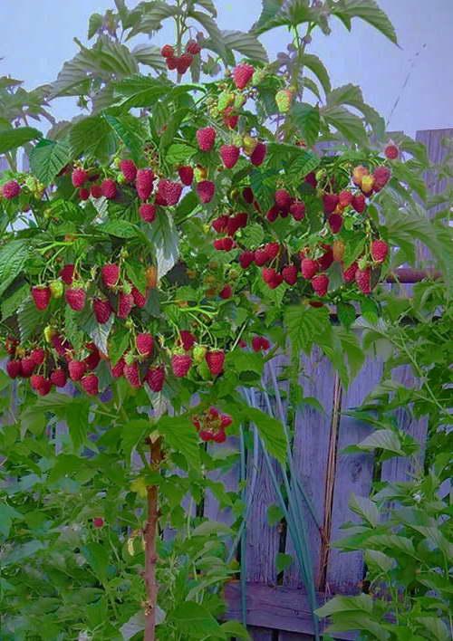 Штамбовая малина Богатырь фото куста с ягодами